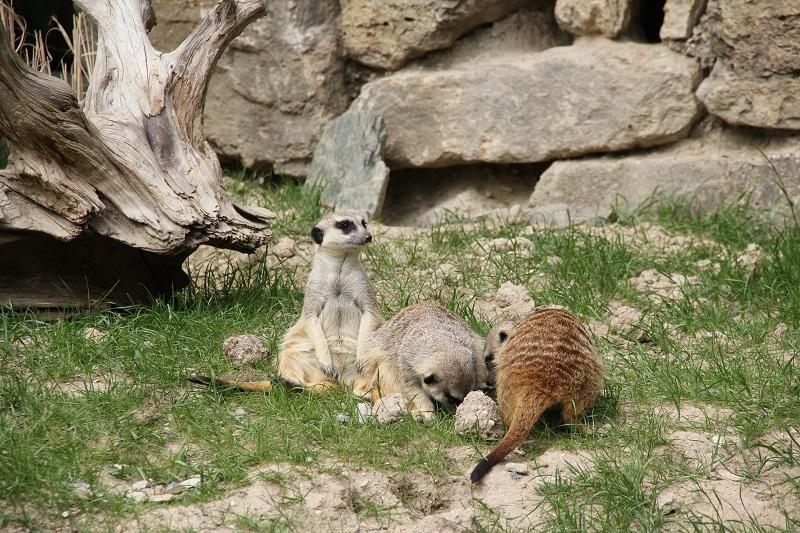 Zoo-oder-Tierpark-BineLovesLife-Erdmännchen