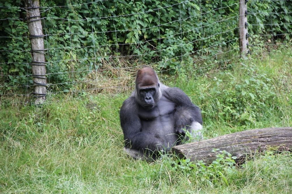 FamilyFriday-GivskudZoo-Safari-Gorilla-BineLovesLife
