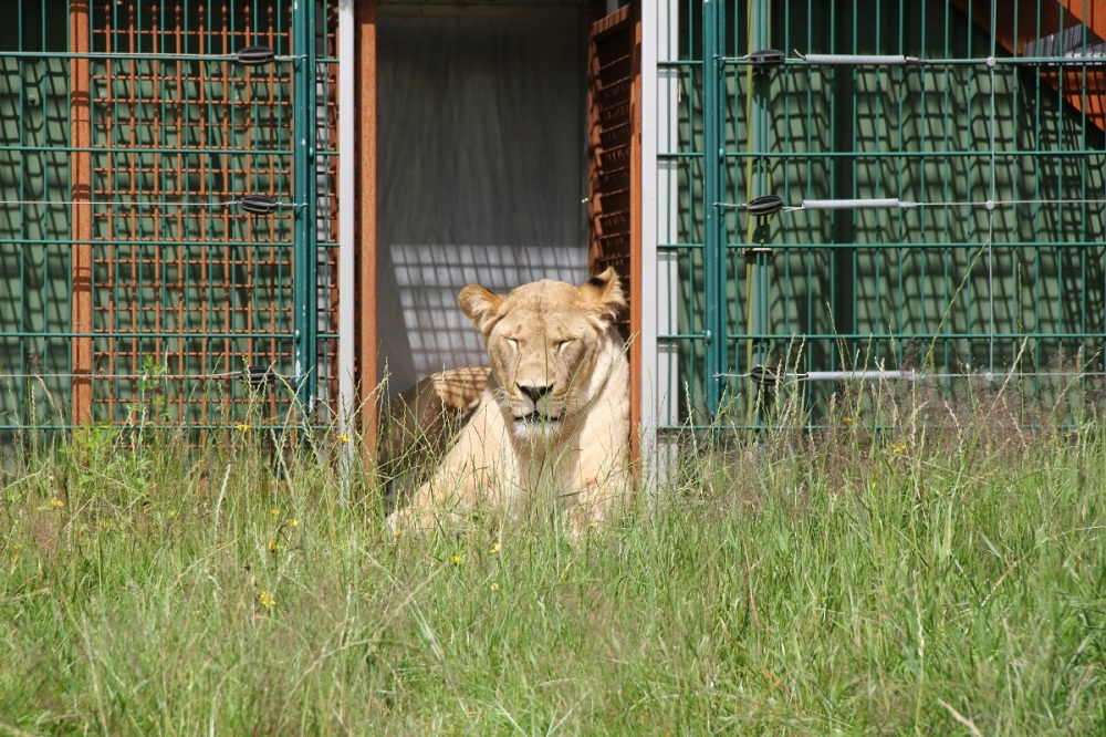 FamilyFriday-GivskudZoo-Safari-Lions-BineLovesLife