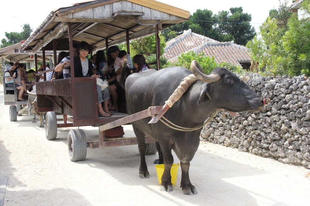 taketomi-island-ishigaki-water-buffalo-bineloveslife